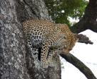 leopardB